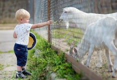 Chèvre de alimentation de garçon d'enfant en bas âge Photographie stock