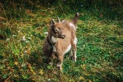Chèvre de bébé de Brown Image libre de droits