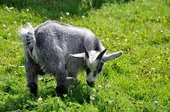 Chèvre de bébé mangeant l'herbe Photographie stock