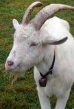 Chèvre de Billy photographie stock libre de droits