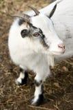 Chèvre de Billy photographie stock