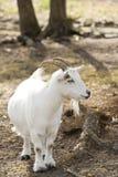 Chèvre de Billy image libre de droits