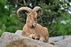 Chèvre de Billy photos libres de droits