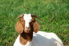 Chèvre de Billy photo stock