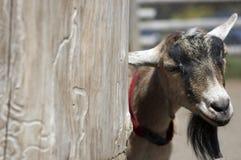 Chèvre de Billy images libres de droits