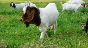 Chèvre de blanc du Boer 100 Image libre de droits