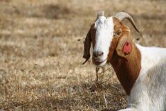 Chèvre de Boer Photographie stock libre de droits