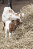 Chèvre de bonne d'enfants et d'enfant frôlant sur la balle de foin Style de portrait Photographie stock libre de droits