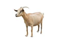 Chèvre de Brown photo stock