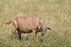 Chèvre de Brown dans l'herbe Photos libres de droits