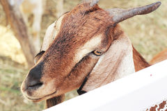 Chèvre de Brown dans la ferme image libre de droits