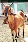 Chèvre de Brown dans la ferme photo stock