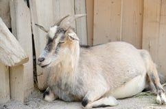 Chèvre de Brown dans une ferme Image stock