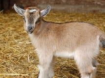 Chèvre de chéri photo libre de droits