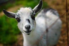 Chèvre de chéri Images libres de droits