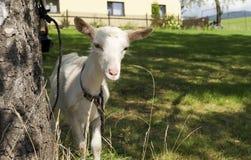 Chèvre de chéri image libre de droits
