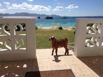 Chèvre de dépendance d'Anguilla photographie stock