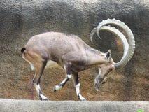 Chèvre de danse Photos libres de droits