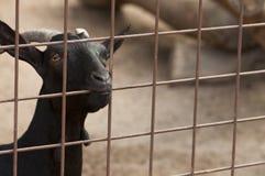 Chèvre de ferme Photos libres de droits