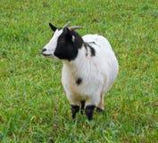 Chèvre de gosse dans le domaine. Image libre de droits