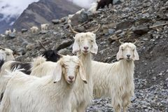 Chèvre de l'Himalaya photographie stock