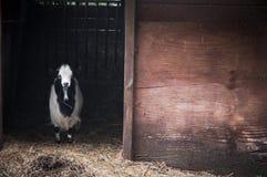 Chèvre de l'Himalaya Photo stock