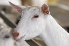 Chèvre de laiterie photo libre de droits