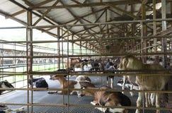 Chèvre de laiterie photos libres de droits