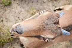 Chèvre de LaMancha Photo libre de droits