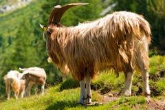 Chèvre de mâle de montagne Images stock