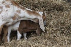 Chèvre de mère d'imitation de chèvre de bébé tout en mangeant le foin Photographie stock libre de droits