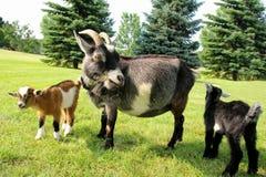 Chèvre de mère et deux bébés mangeant l'herbe Photographie stock libre de droits