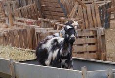 Chèvre de Majorera dans une cuvette de alimentation sur Fuerteventura Photo libre de droits