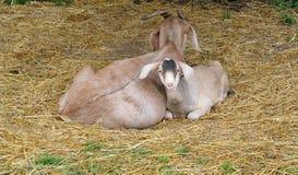 Chèvre de maman et d'enfant Photographie stock