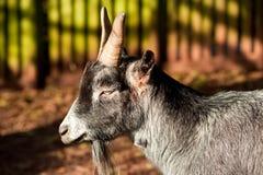 Chèvre de McGintys de paddy Image stock