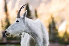 Chèvre de montagne Images libres de droits
