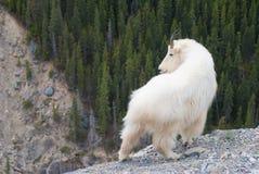 Chèvre de montagne Image stock