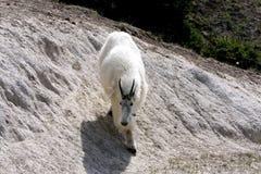 Chèvre de montagne. photographie stock libre de droits