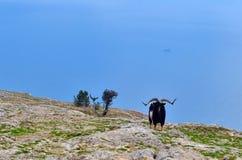 Chèvre de montagne Photographie stock
