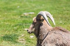 Chèvre de montagne Photos stock