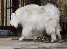 Chèvre de montagne Image libre de droits