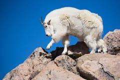Chèvre de montagne adulte marchant en montagne rocheuse terrian Images libres de droits