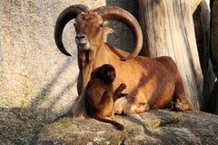 Chèvre de montagne avec des klaxons, singes, nature animale d'amour de babouins Photo libre de droits