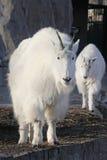 Chèvre de montagne avec l'petit animal mignon de chèvre de bébé Image stock