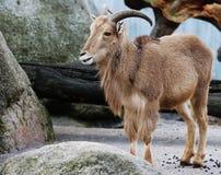 Chèvre de montagne avec le fond de nature animale de klaxons Photographie stock