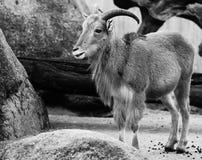 Chèvre de montagne avec le fond de nature animale de klaxons Photo stock