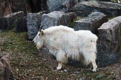 Chèvre de montagne avec le fond de nature animale de klaxons Image libre de droits