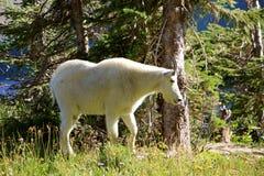 Chèvre de montagne blanche Photo libre de droits