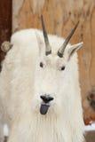 Chèvre de montagne collant à l'extérieur la langue Photos libres de droits