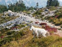 Chèvre de montagne croisant une traînée avec un beau paysage image stock